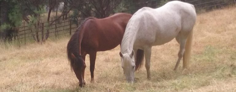 Photo of two mares, a bey and a grey grazing in unison.